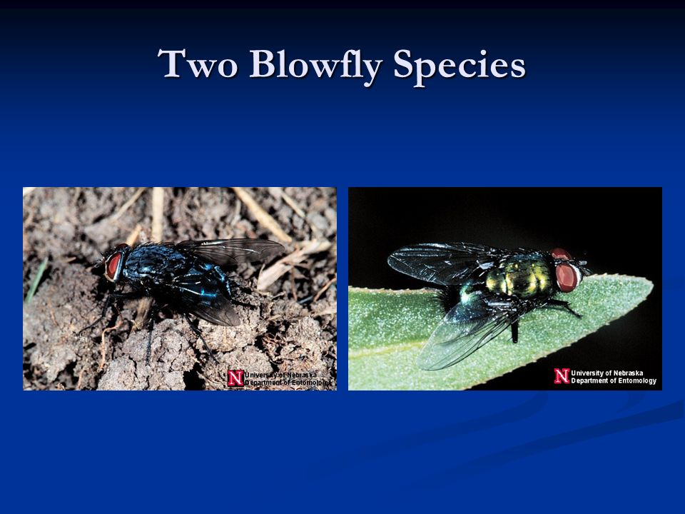 Two Blowfly Species