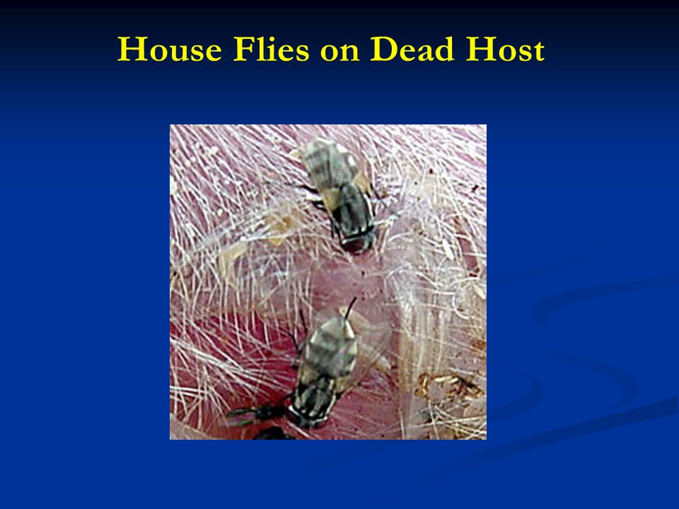 House Flies on Dead Host