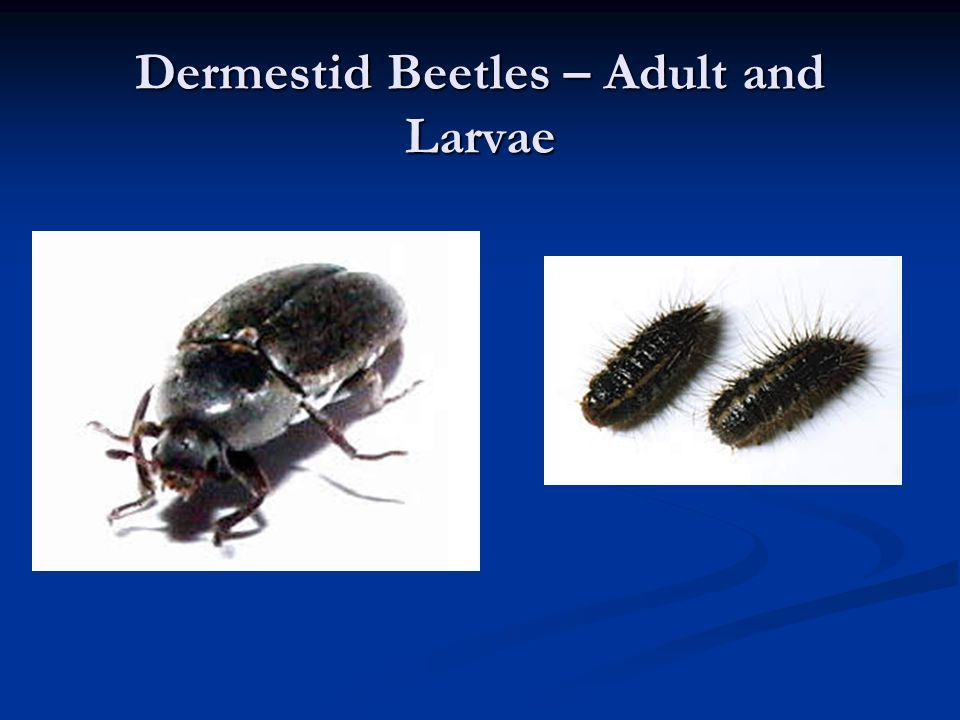 Dermestid Beetles – Adult and Larvae