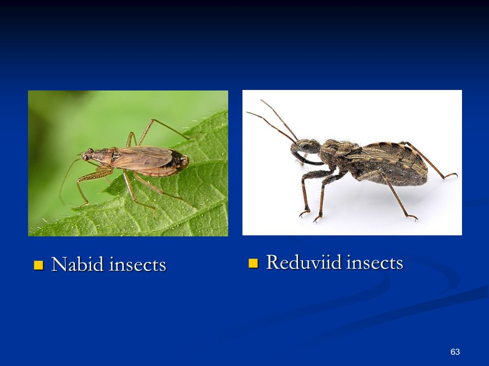Nabid insects Nabid insects 63 Reduviid insects Reduviid insects