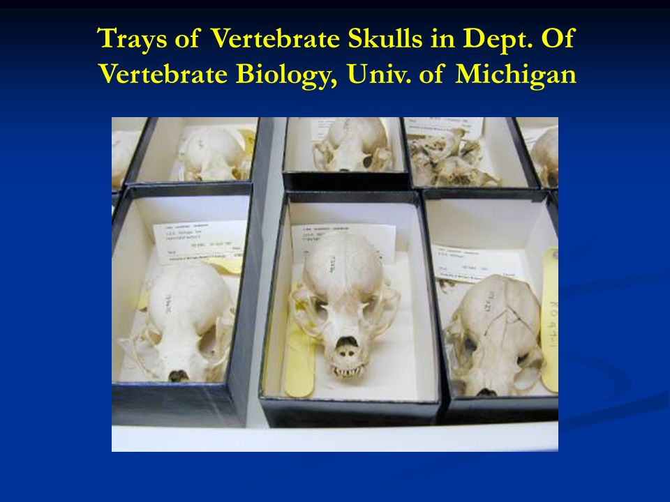 Trays of Vertebrate Skulls in Dept. Of Vertebrate Biology, Univ. of Michigan