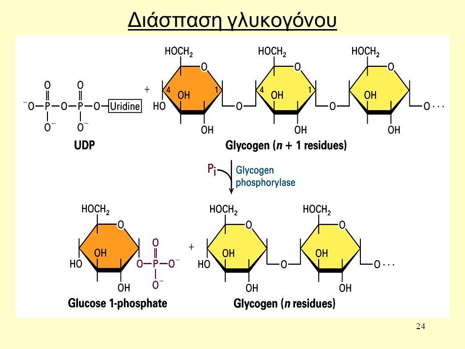 24 Διάσπαση γλυκογόνου