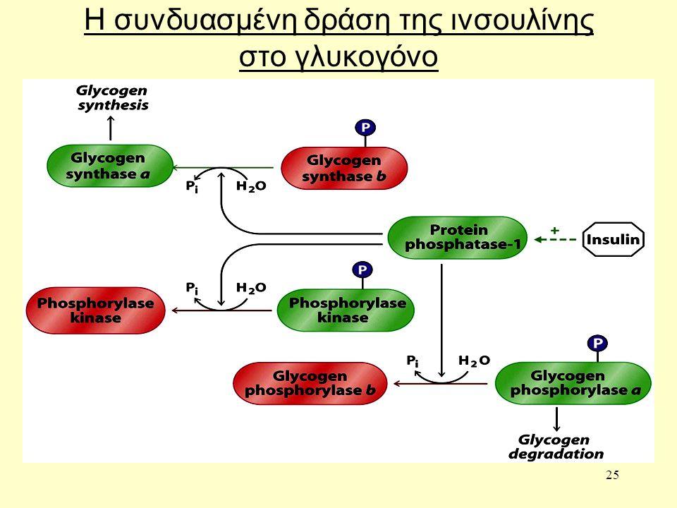 25 Η συνδυασμένη δράση της ινσουλίνης στο γλυκογόνο