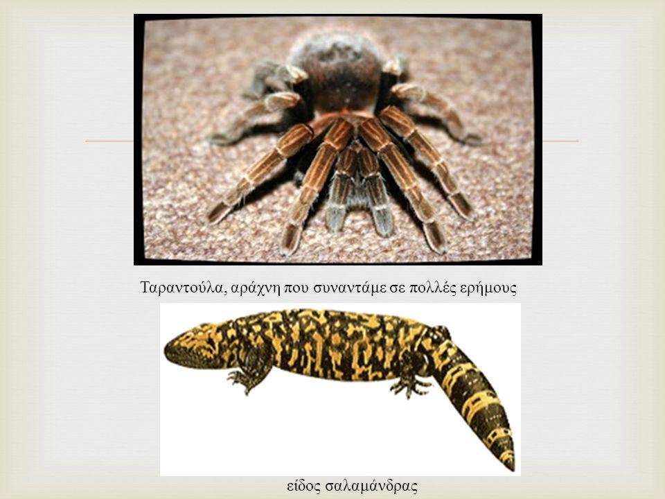  Ταραντούλα, αράχνη που συναντάμε σε πολλές ερήμους είδος σαλαμάνδρας