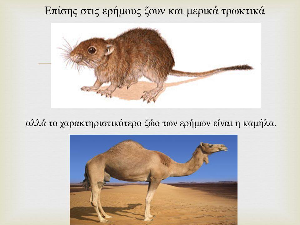  Επίσης στις ερήμους ζουν και μερικά τρωκτικά αλλά το χαρακτηριστικότερο ζώο των ερήμων είναι η καμήλα.