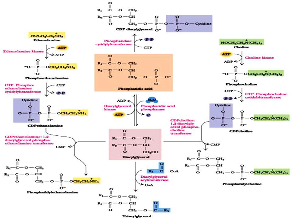 10 Μεταβολισμός πολικών λιποειδών Υπάρχει η δυvατότητα αλληλoμετατρoπώv της φωσφατιδυλoχoλίvης σε φωσφατιδυλo- αιθαvoλαμίvη είτε με τη δράση φωσφολιπασών είτε με τη μεταφορά ενός ατόμου άνθρακα.