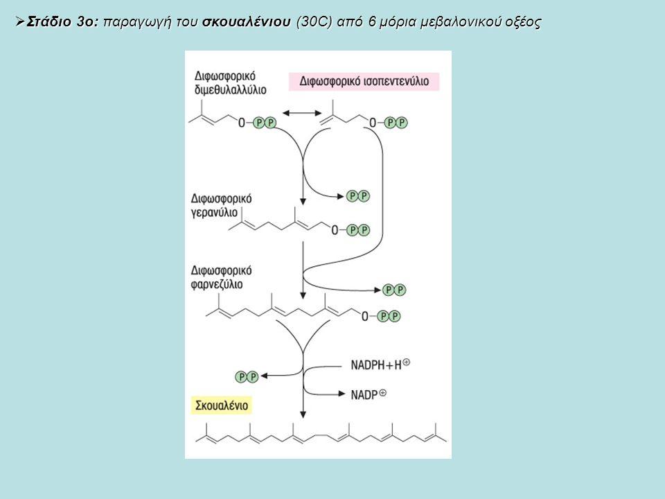  Στάδιο 3ο: παραγωγή του σκουαλένιου (30C) από 6 μόρια μεβαλονικού οξέος