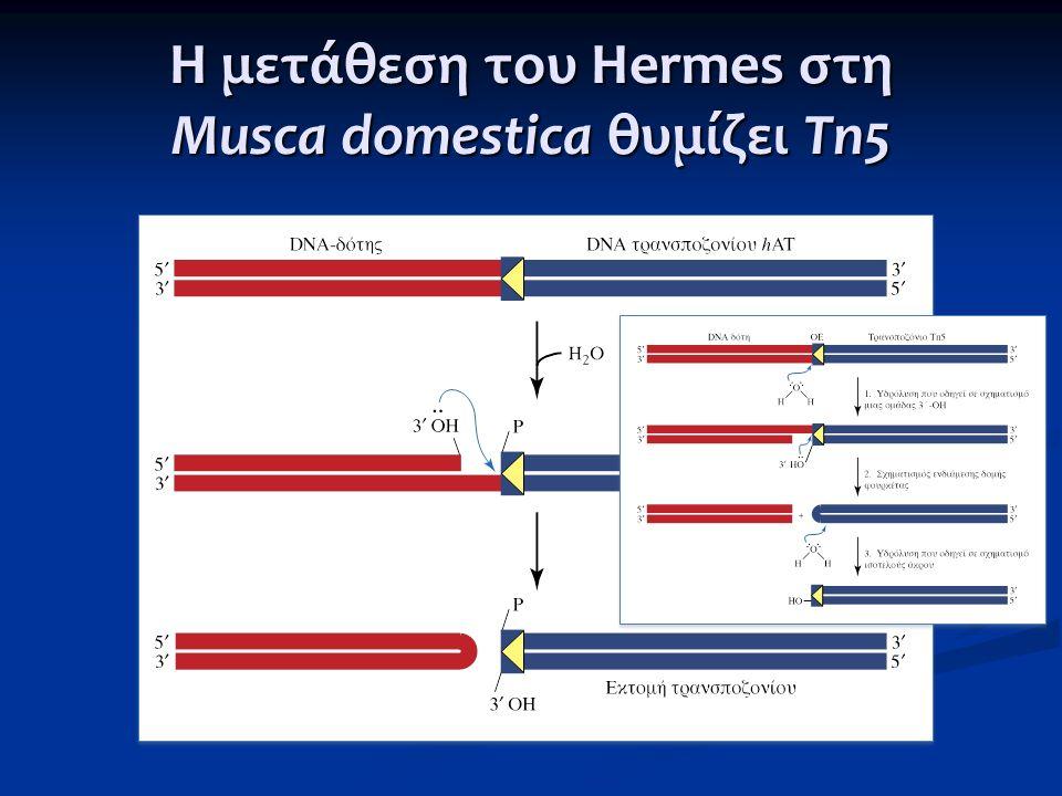 Η μετάθεση του Hermes στη Musca domestica θυμίζει Tn5