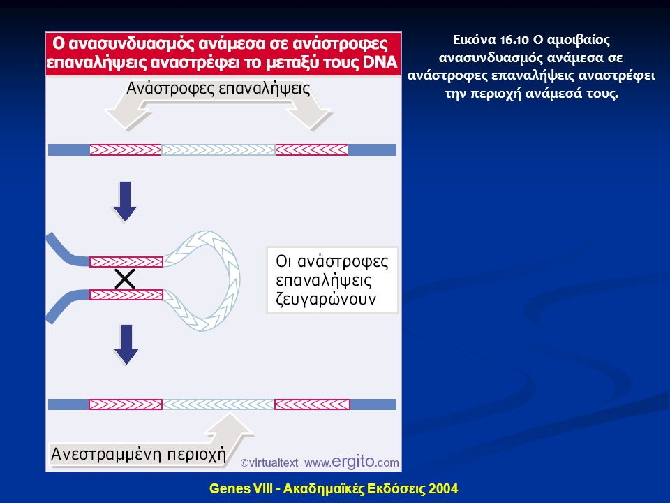 Genes VIII - Ακαδημαϊκές Εκδόσεις 2004 Εικόνα 16.10 Ο αμοιβαίος ανασυνδυασμός ανάμεσα σε ανάστροφες επαναλήψεις αναστρέφει την περιοχή ανάμεσά τους.