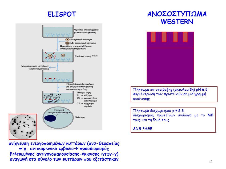 ELISPOT ΑΝΟΣΟΣΤΥΠΩΜΑ WESTERN Πήκτωμα επιστοίβαξης (ακρυλαμίδη) pH 6.8 συγκέντρωση των πρωτεϊνών σε μια γραμμή εκκίνησης Πήκτωμα διαχωρισμού pH 8.8 διαχωρισμός πρωτεϊνών ανάλογα με το ΜΒ τους και τη δομή τους SDS-PAGE ανίχνευση ενεργοποιημένων κυττάρων (ανσ-θεραπείας π.χ.
