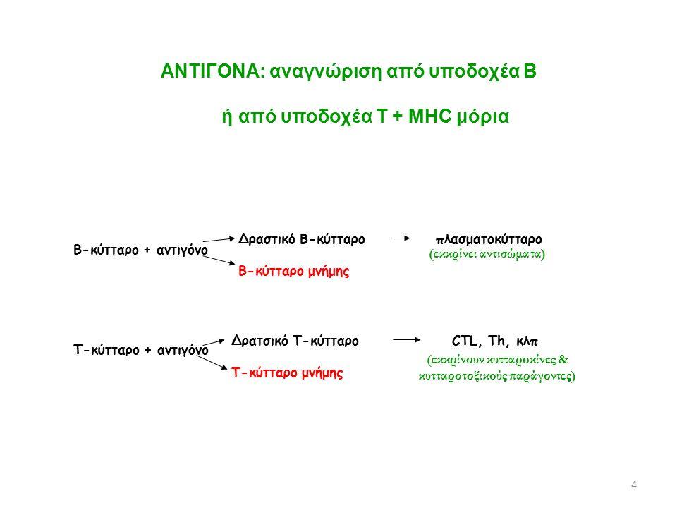 ΑΝΤΙΓΟΝΑ: αναγνώριση από υποδοχέα Β ή από υποδοχέα Τ + ΜΗC μόρια Β-κύτταρο + αντιγόνο Τ-κύτταρο + αντιγόνο Δραστικό Β-κύτταρο Β-κύτταρο μνήμης Δρατσικό Τ-κύτταρο Τ-κύτταρο μνήμης πλασματοκύτταρο CTL, Th, κλπ (εκκρίνουν κυτταροκίνες & κυτταροτοξικούς παράγοντες) (εκκρίνει αντισώματα) 4