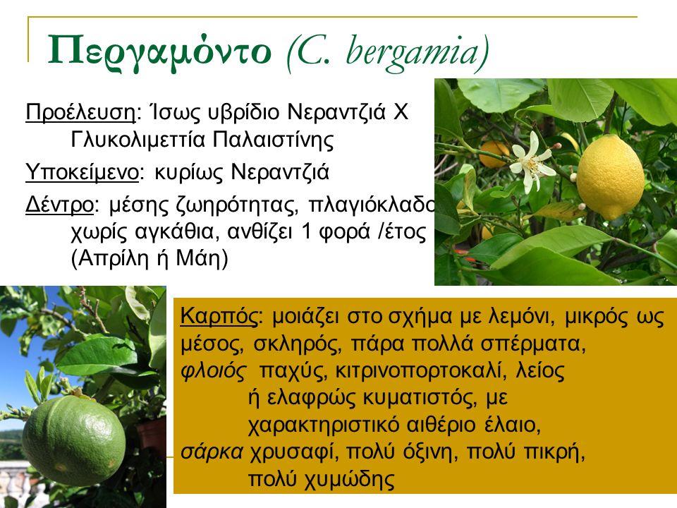 Προέλευση: Ίσως υβρίδιο Νεραντζιά Χ Γλυκολιμεττία Παλαιστίνης Υποκείμενο: κυρίως Νεραντζιά Δέντρο: μέσης ζωηρότητας, πλαγιόκλαδο, χωρίς αγκάθια, ανθίζ