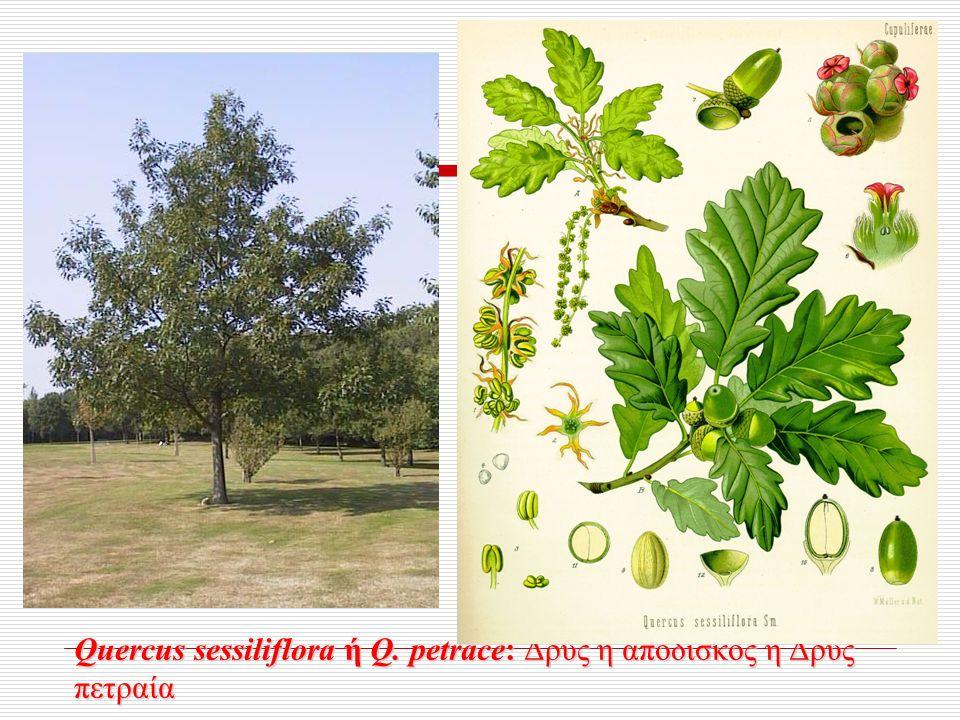 Quercus sessiliflora ή Q. petrace: Δρύς η απόδισκος ή Δρύς πετραία