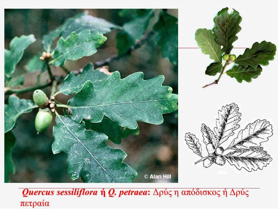 Quercus sessiliflora ή Q. petraea: Δρύς η απόδισκος ή Δρύς πετραία