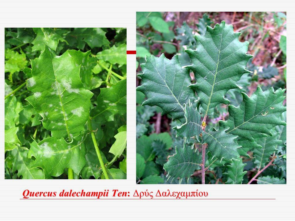 Quercus dalechampii Ten: Δρύς Δαλεχαμπίου Quercus dalechampii Ten: Δρύς Δαλεχαμπίου