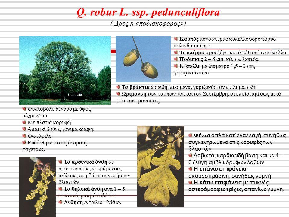 Q. robur L. ssp.