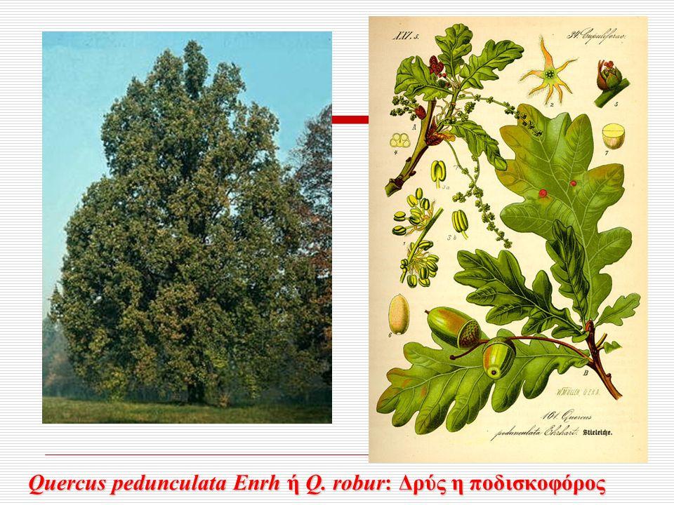 Quercus pedunculata Enrh ή Q. robur: Δρύς η ποδισκοφόρος