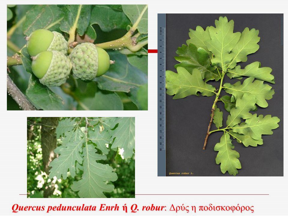 Quercus pedunculata Enrh ή Q. robur: Δρύς η ποδισκοφόρος Quercus pedunculata Enrh ή Q.