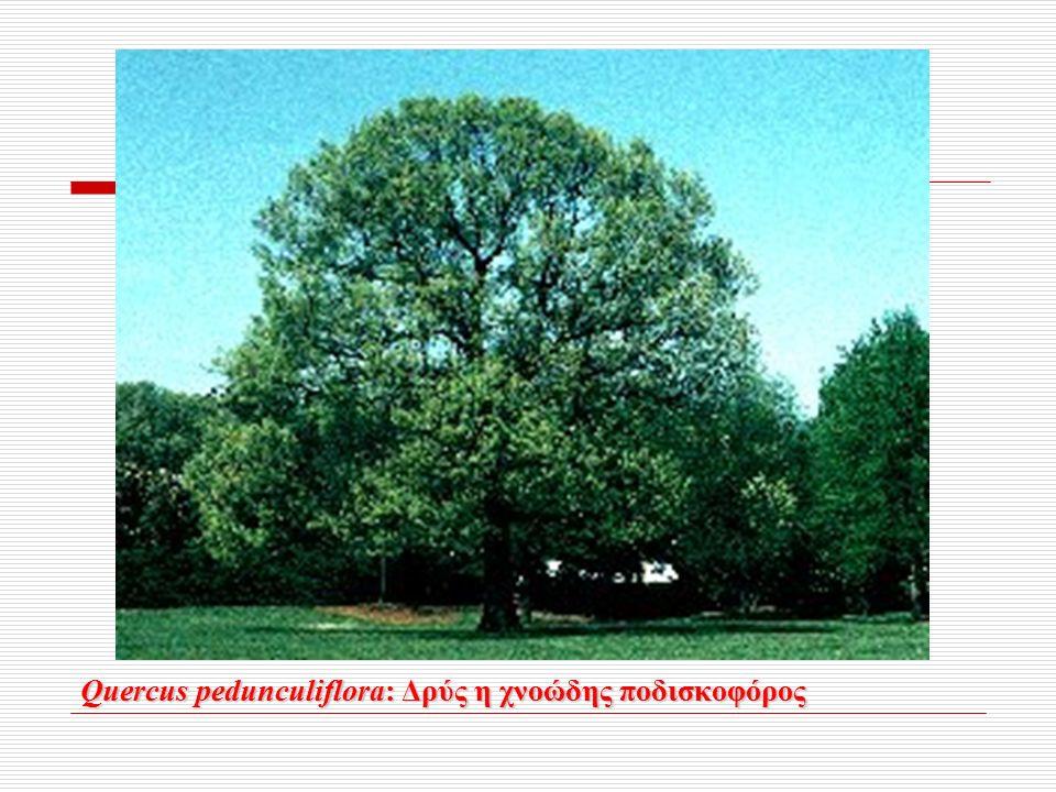 Quercus pedunculiflora: Δρύς η χνοώδης ποδισκοφόρος Quercus pedunculiflora: Δρύς η χνοώδης ποδισκοφόρος