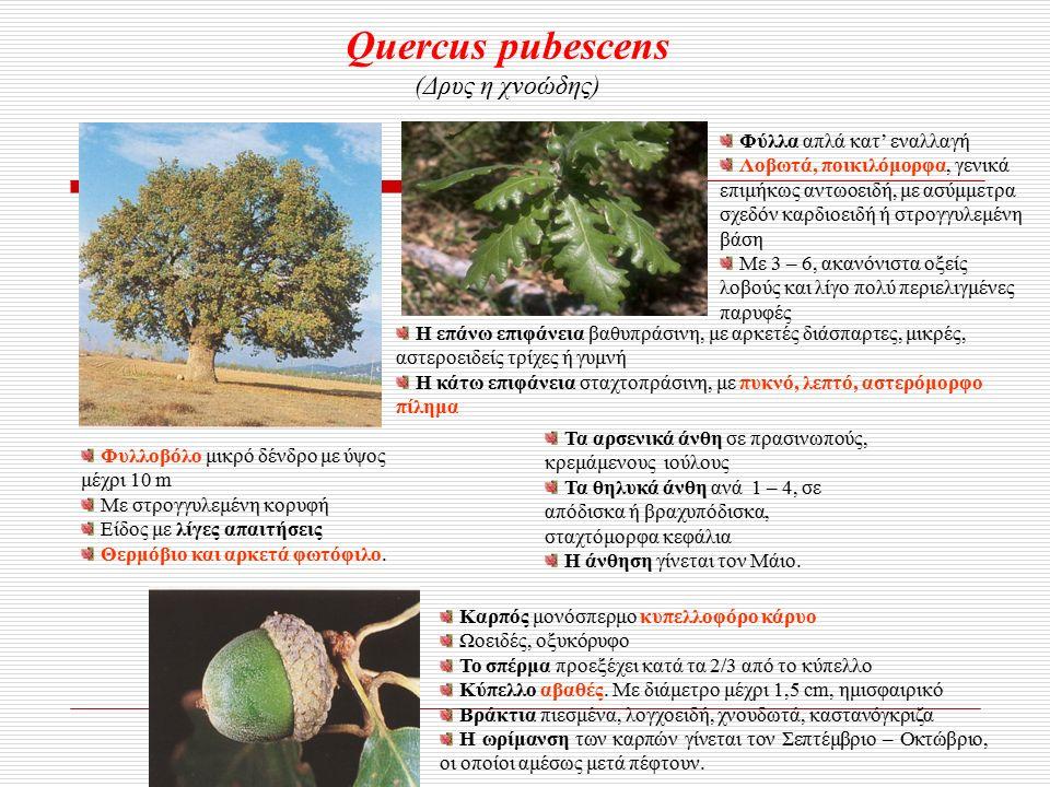 Quercus pubescens (Δρυς η χνοώδης) Φυλλοβόλο μικρό δένδρο με ύψος μέχρι 10 m Με στρογγυλεμένη κορυφή Είδος με λίγες απαιτήσεις Θερμόβιο και αρκετά φωτόφιλο.
