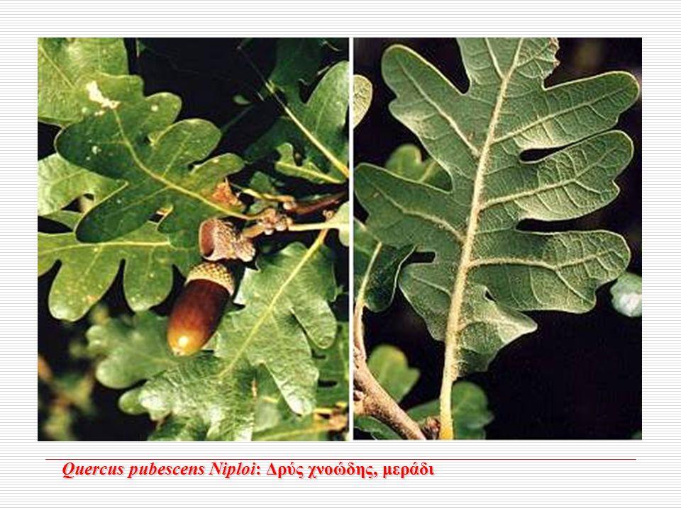 Quercus pubescens Niploi: Δρύς χνοώδης, μεράδι Quercus pubescens Niploi: Δρύς χνοώδης, μεράδι