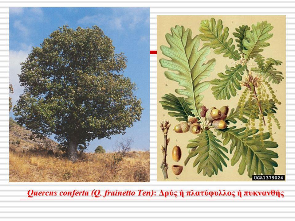 Quercus conferta (Q. frainetto Ten): Δρύς ή πλατύφυλλος ή πυκνανθής Quercus conferta (Q.