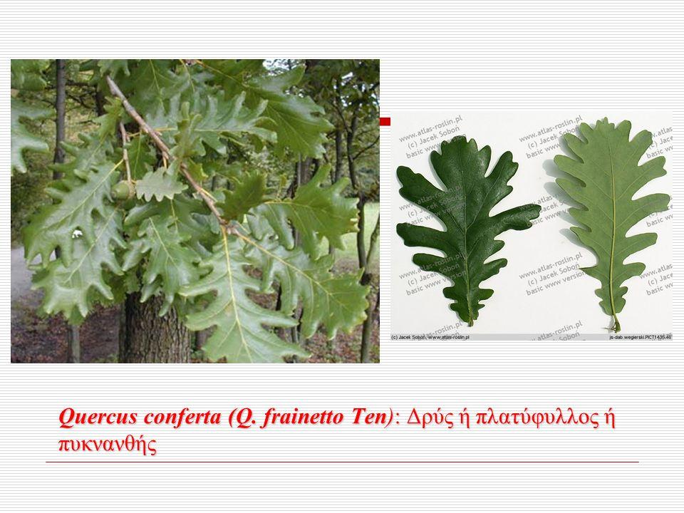 Quercus conferta (Q. frainetto Ten): Δρύς ή πλατύφυλλος ή πυκνανθής