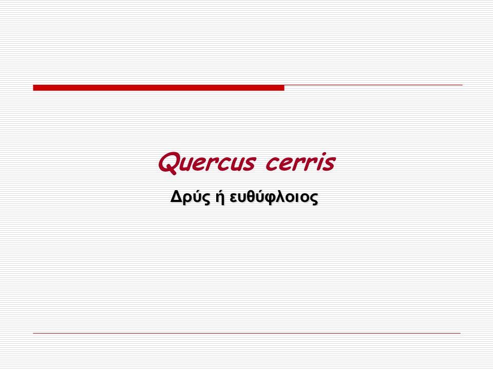 Quercus cerris Δρύς ή ευθύφλοιος
