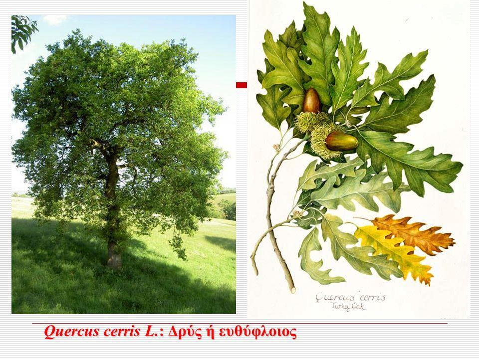 Quercus cerris L.: Δρύς ή ευθύφλοιος Quercus cerris L.: Δρύς ή ευθύφλοιος
