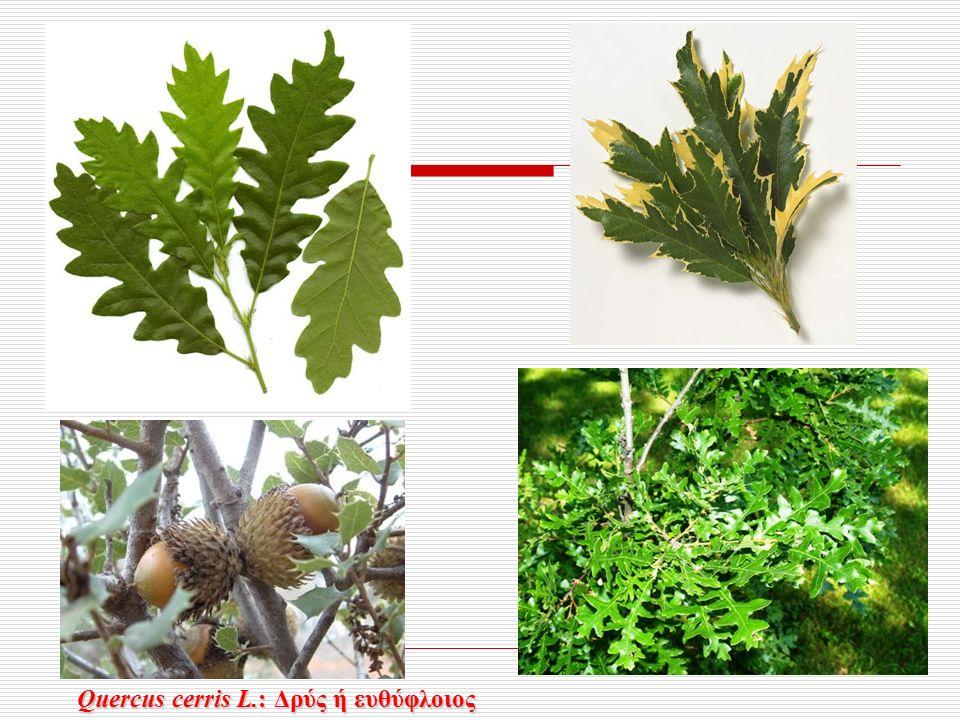 Quercus cerris L.: Δρύς ή ευθύφλοιος