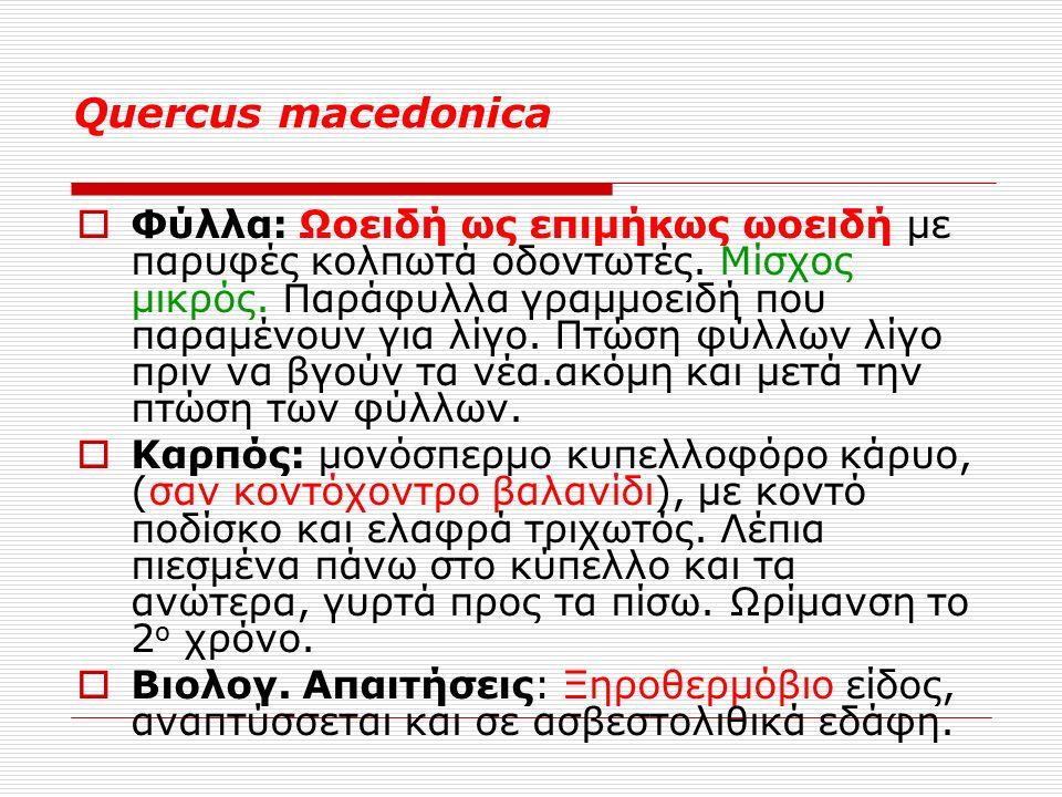 Quercus macedonica  Φύλλα: Ωοειδή ως επιμήκως ωοειδή με παρυφές κολπωτά οδοντωτές.