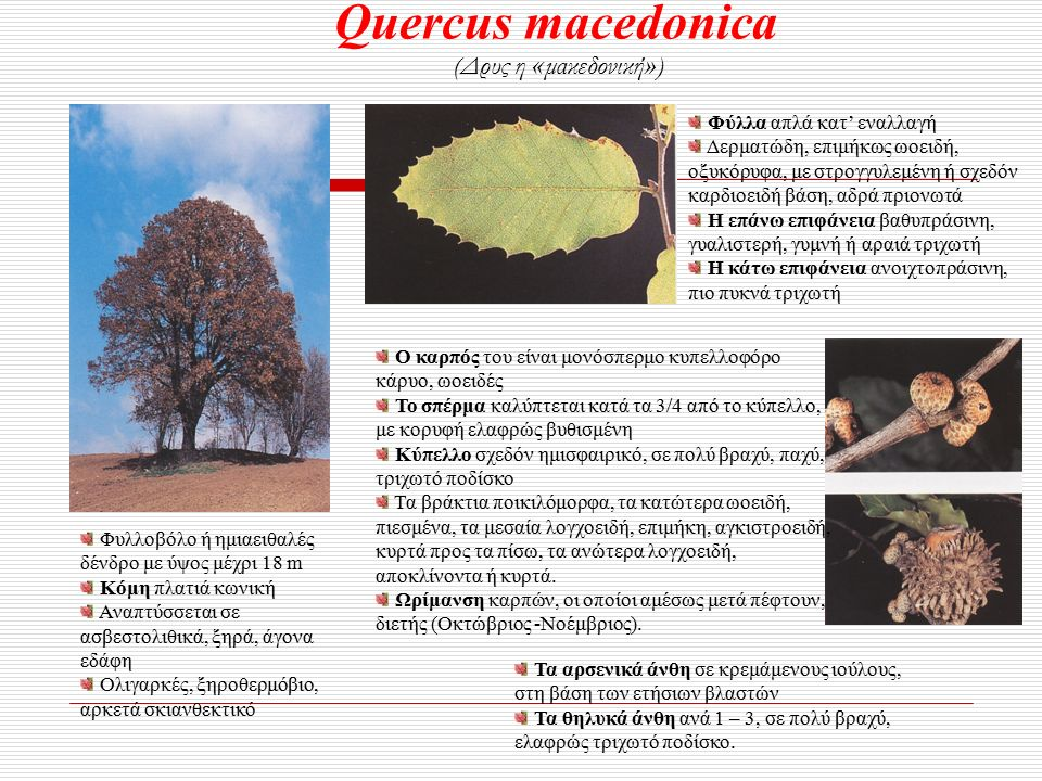 Quercus macedonica (Δρυς η « μακεδονική » ) Φυλλοβόλο ή ημιαειθαλές δένδρο με ύψος μέχρι 18 m Κόμη πλατιά κωνική Αναπτύσσεται σε ασβεστολιθικά, ξηρά, άγονα εδάφη Ολιγαρκές, ξηροθερμόβιο, αρκετά σκιανθεκτικό Φύλλα απλά κατ' εναλλαγή Δερματώδη, επιμήκως ωοειδή, οξυκόρυφα, με στρογγυλεμένη ή σχεδόν καρδιοειδή βάση, αδρά πριονωτά Η επάνω επιφάνεια βαθυπράσινη, γυαλιστερή, γυμνή ή αραιά τριχωτή Η κάτω επιφάνεια ανοιχτοπράσινη, πιο πυκνά τριχωτή Τα αρσενικά άνθη σε κρεμάμενους ιούλους, στη βάση των ετήσιων βλαστών Τα θηλυκά άνθη ανά 1 – 3, σε πολύ βραχύ, ελαφρώς τριχωτό ποδίσκο.