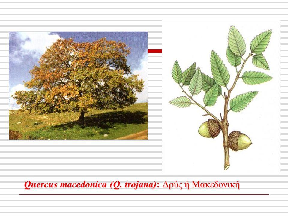 Quercus macedonica (Q. trojana): Δρύς ή Μακεδονική Quercus macedonica (Q.