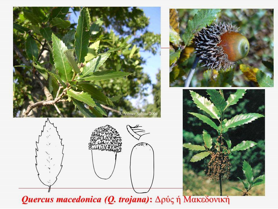Quercus macedonica (Q. trojana): Δρύς ή Μακεδονική