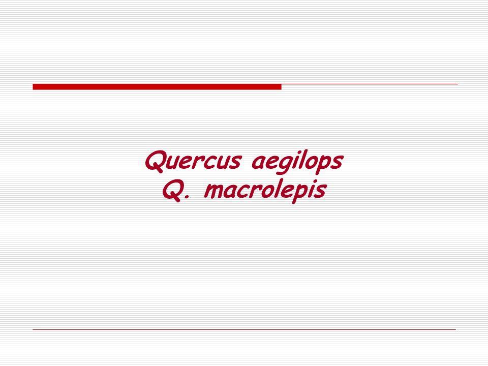 Quercus aegilops Q. macrolepis