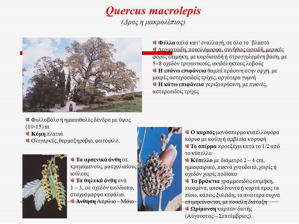 Quercus macrolepis (Δρυς η μακρολέπιος) Φυλλοβόλο ή ημιαειθαλές δένδρο με ύψος (10-15) m Κόμη πλατιά Ολιγαρκές, θερμοξηρόβιο, φωτόφιλο.