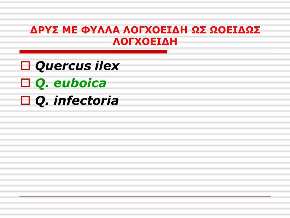 ΔΡΥΣ ΜΕ ΦΥΛΛΑ ΛΟΓΧΟΕΙΔΗ ΩΣ ΩΟΕΙΔΩΣ ΛΟΓΧΟΕΙΔΗ  Quercus ilex  Q. euboica  Q. infectoria