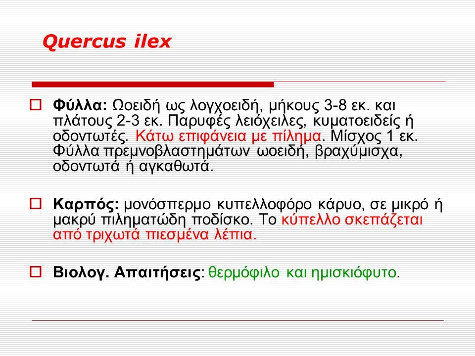 Quercus ilex  Φύλλα: Ωοειδή ως λογχοειδή, μήκους 3-8 εκ.