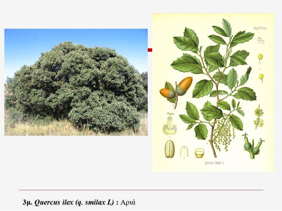 3μ. Quercus ilex (q. smilax L) : Αριά