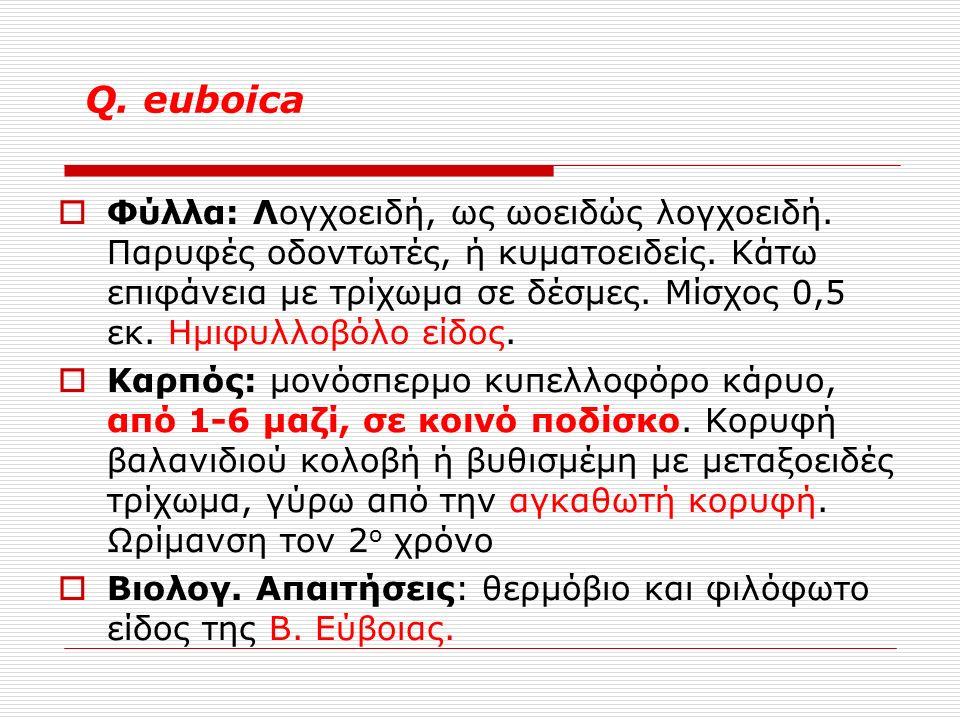 Q. euboica  Φύλλα: Λογχοειδή, ως ωοειδώς λογχοειδή.