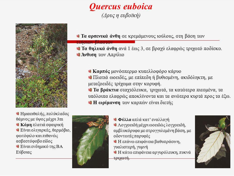 Quercus euboica (Δρυς η ευβοϊκή) Ημιαειθαλής, πολύκλαδος θάμνος με ύψος μέχρι 3m Κόμη πλατιά σφαιρική Είναι ολιγαρκές, θερμόβιο, φωτόφιλο και πιθανώς ασβεστόφοβο είδος Είναι ενδημικό της ΒΑ Εύβοιας Φύλλα απλά κατ' εναλλαγή Λογχοειδή μέχρι ωοειδώς λογχοειδή, αμβλυκόρυφα με στρογγυλεμένη βάση, με οδοντωτές παρυφές Η επάνω επιφάνεια βαθυπράσινη, γυαλιστερή, γυμνή Η κάτω επιφάνεια αργυρόλευκη, πυκνά τριχωτή.