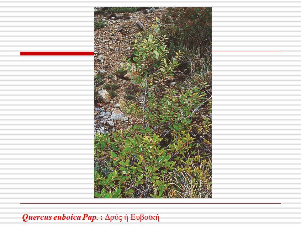 Quercus euboica Pap. : Δρύς ή Ευβοϊκή