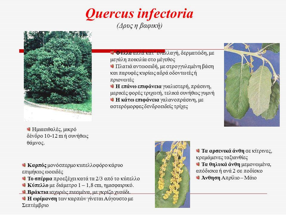 Quercus infectoria (Δρυς η βαφική) Ημιαειθαλές, μικρό δένδρο 10-12 m ή συνήθως θάμνος.