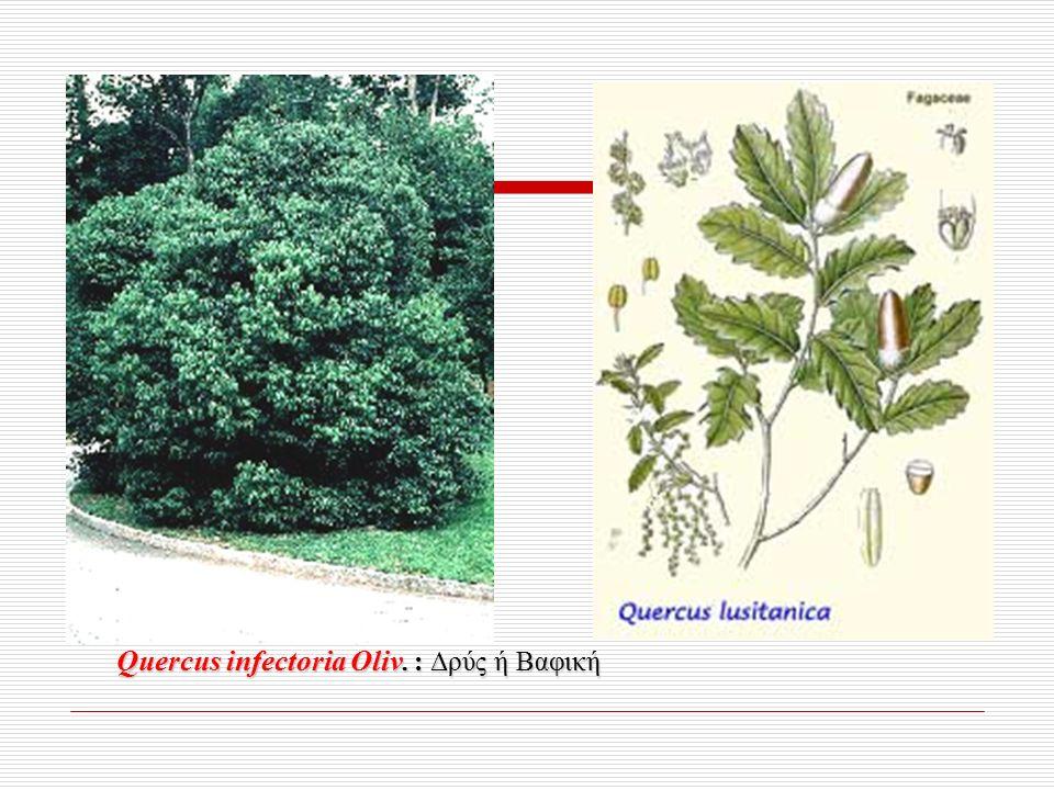 Quercus infectoria Oliv. : Δρύς ή Βαφική
