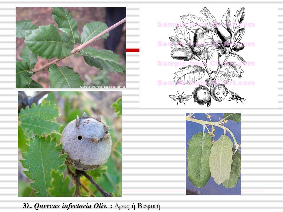 3λ. Quercus infectoria Oliv. : Δρύς ή Βαφική