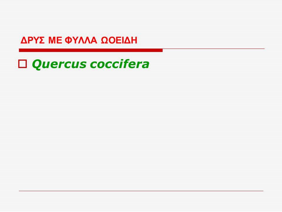 ΔΡΥΣ ΜΕ ΦΥΛΛΑ ΩΟΕΙΔΗ  Quercus coccifera
