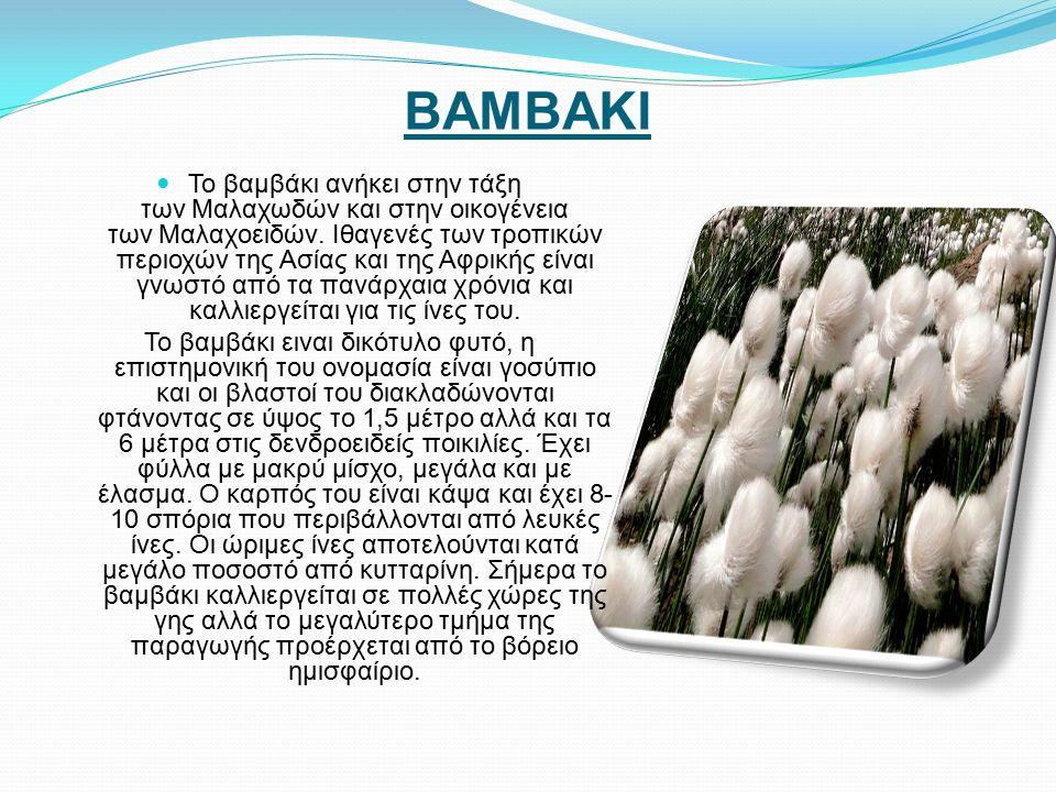 ΒΑΜΒΑΚΙ Το βαμβάκι ανήκει στην τάξη των Μαλαχωδών και στην οικογένεια των Μαλαχοειδών.