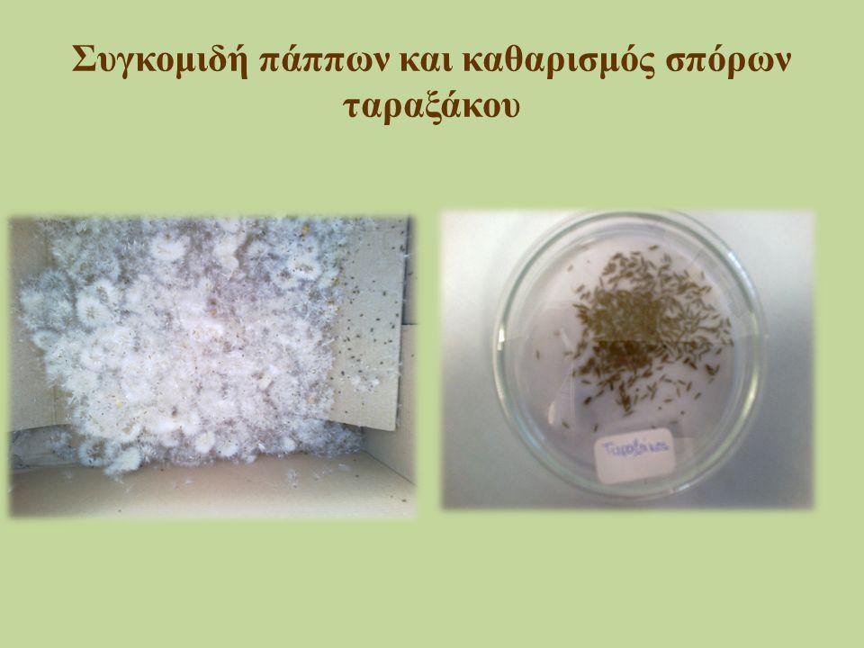 Συγκομιδή πάππων και καθαρισμός σπόρων ταραξάκου