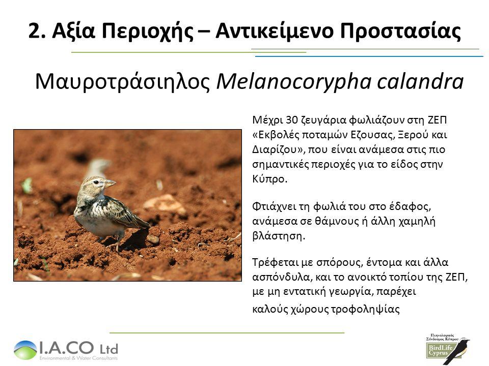 Μαυροτράσιηλος Melanocorypha calandra Μέχρι 30 ζευγάρια φωλιάζουν στη ΖΕΠ «Εκβολές ποταμών Εζουσας, Ξερού και Διαρίζου», που είναι ανάμεσα στις πιο ση