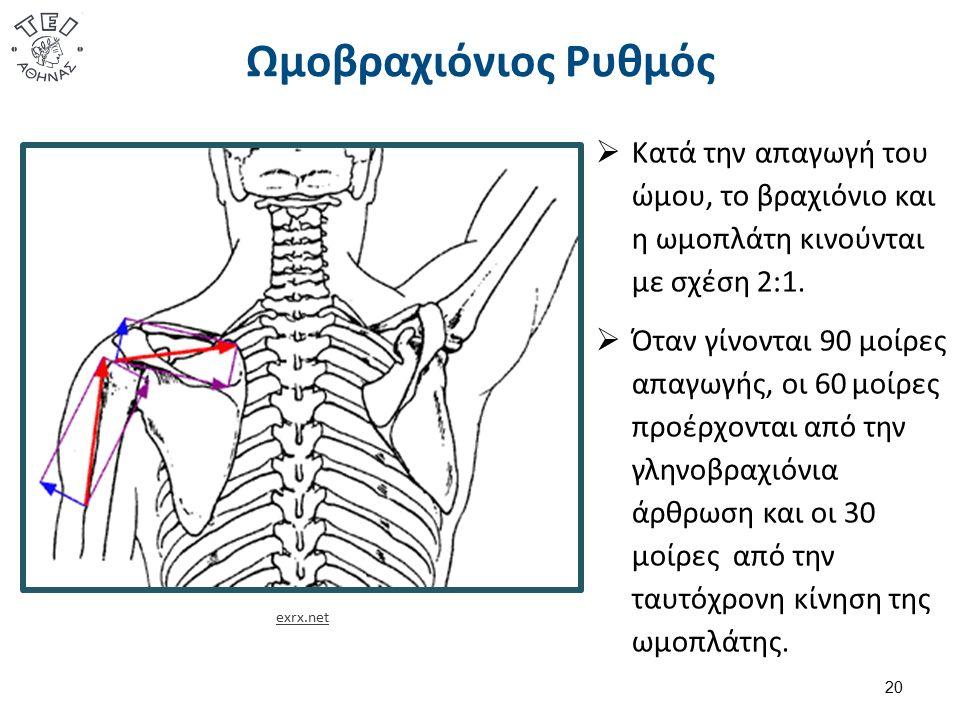 Ωμοβραχιόνιος Ρυθμός  Κατά την απαγωγή του ώμου, το βραχιόνιο και η ωμοπλάτη κινούνται με σχέση 2:1.  Όταν γίνονται 90 μοίρες απαγωγής, οι 60 μοίρες